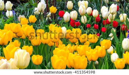 Beautiful and colourful tulips in white, red and yellow blooming in spring - stock photo