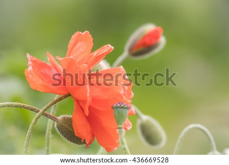 Beautiful and delicate poppies in bloom in warm soft setting - stock photo
