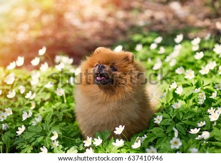 Best Pomeranian Brown Adorable Dog - stock-photo-beautiful-and-fluffy-pomeranian-dog-in-a-spring-forest-flowers-adorable-dog-637410946  HD_743148  .jpg