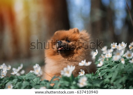 Most Inspiring Pomeranian Brown Adorable Dog - stock-photo-beautiful-and-fluffy-pomeranian-dog-in-a-spring-forest-flowers-adorable-dog-dog-in-a-forest-637410940  Perfect Image Reference_421171  .jpg