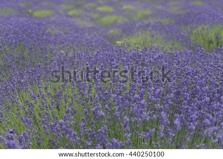Beautiful and fresh Lavender Farm,Vancouver Island