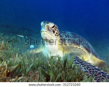 Beautiful and friendly green sea turtle - stock photo