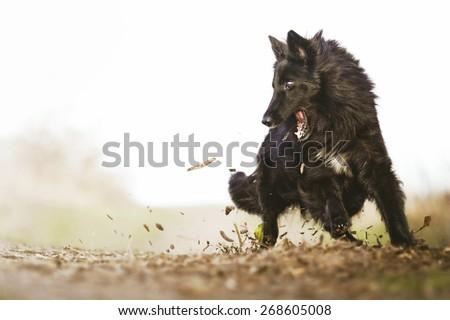 beautiful and fun Groenendael german shepherd dog puppy running in spring background dog trick - stock photo