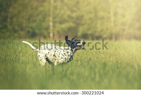 beautiful and fun young auvergne pointing dog puppy running flying and jumping in summer background - stock photo