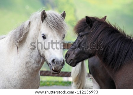 Beautiful and funny white horses on farm taken in Switzerland Alps - stock photo