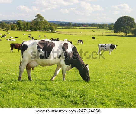 Beautiful and idyllic green grass with cattle happily grazing. - stock photo