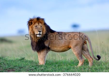 Beautiful and powerful Lion Lipstick of Rekero Pride in Masai Mara, Kenya - stock photo