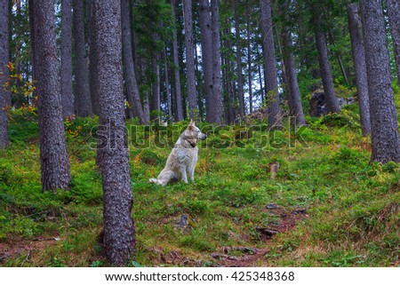 Beautiful and smart white dog in the woods in Italy,Europe - stock photo
