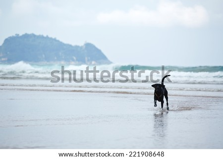 Beautiful and strong labrador retriever running on ocean beach, young black labrador playing run on wet sand - stock photo