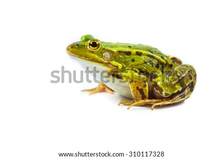 Beautiful and strong Pool frog male (Pelophylax lessonae) isolated on white background - stock photo
