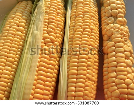 Beautiful and ugly corn cobs