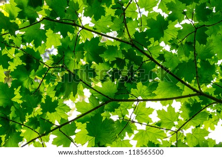 Beautiful and warm early summer feeling with green maple leafs bathing on sunshine - stock photo