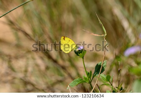 beautiful Anderson's Grass Yellow butterfly (Eurema andersonii) on leaf near the road track - stock photo