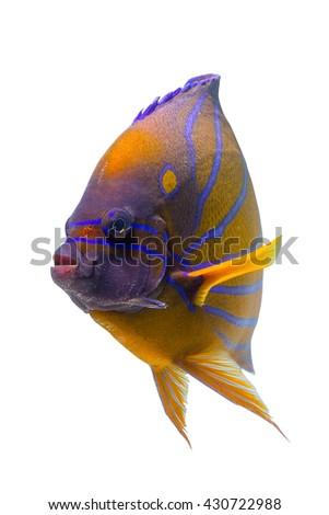 Beautiful Angelfish face/aquarium fish/swimming fish/tropical colorful stripped fish/fish on white background  - stock photo