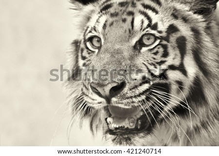 Beautiful angry face of Royal Bengal Tiger , Panthera Tigris, West Bengal, India - tinted image . It is largest cat species and endangered , in Sundarban mangrove forest of India and Bangladesh. - stock photo