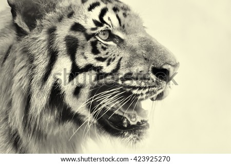 Beautiful angry face of Royal Bengal Tiger,Panthera Tigris, West Bengal, India - tinted image. It is largest cat species and endangered,only found in Sundarban mangrove forest of India and Bangladesh. - stock photo