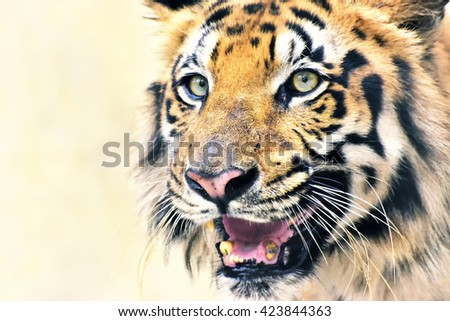Beautiful angry face of Royal Bengal Tiger, Panthera Tigris,West Bengal, India - tinted image.It is largest cat species and endangered, only found in Sundarban mangrove forest of India and Bangladesh.