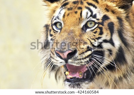 Beautiful angry face of Royal Bengal Tiger, Panthera Tigris West Bengal, India- tinted image.It is largest cat species and endangered , only found in Sundarban mangrove forest of India and Bangladesh. - stock photo