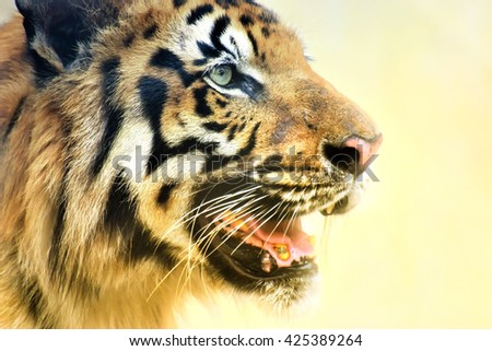Beautiful angry face of Royal Bengal Tiger,Panthera Tigris, West Bengal, India- tinted image. It is largest cat species and endangered, only found in Sundarban mangrove forest of India and Bangladesh. - stock photo