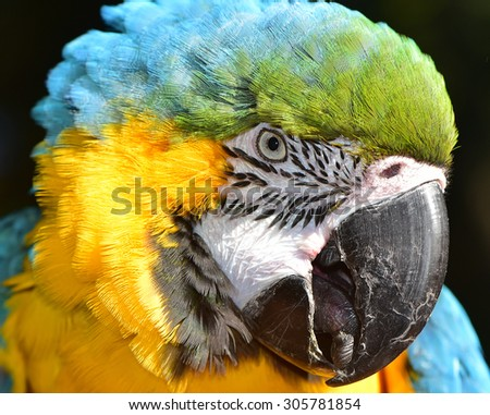 Beautiful Animal Face. Blue and Gold Macaw - stock photo