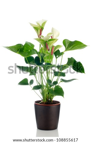 Beautiful Anthedesia anthurium  in dark flowerpot on white background.
