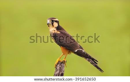 Beautiful Aplomado falcon a rare specie found in the Grasslands of Cocle Province in Panama - stock photo