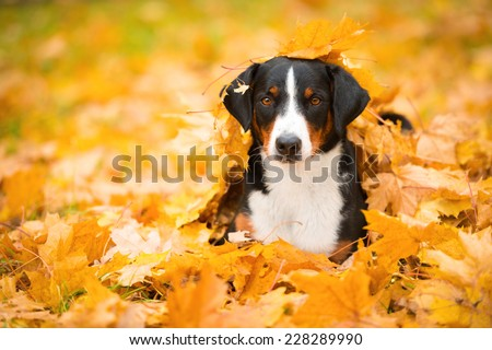 Beautiful Appenzeller Mountain dog in the autumn - stock photo
