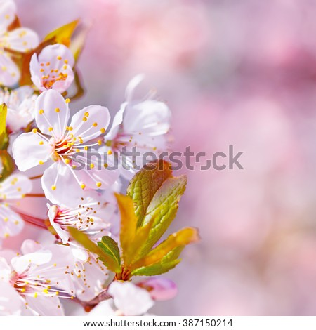 Beautiful apple tree blooming, gentle little white flowers on twig over blur pink background, floral romantic border, beauty of spring season