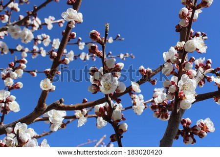 Beautiful apricot blossom on blue sky background