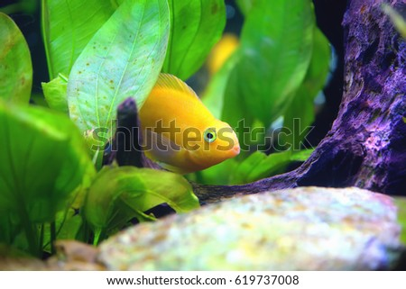 Beautiful Aquarium with Blood parrot cichlid