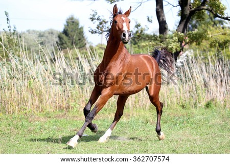 Beautiful arabian breed horse runs on the field summer time - stock photo