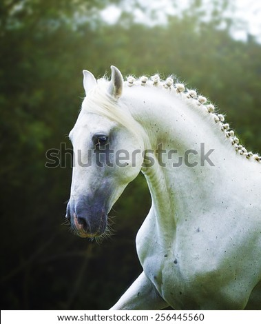 beautiful arabian lipizzaner horse running in nature - stock photo