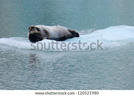 Beautiful arctic image - Sea lion lying on the flake of ice (view from cruise boat), Istfjorden, Spitsbergen archipelago (Svalbard Island), Norway, Greenland Sea - stock photo