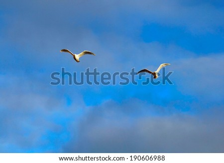 Beautiful arctic image - two white sea gulls flying together against the background of stormy cloudy blue sky in Spitsbergen archipelago (Svalbard Island), Norway, Greenland Sea  - stock photo