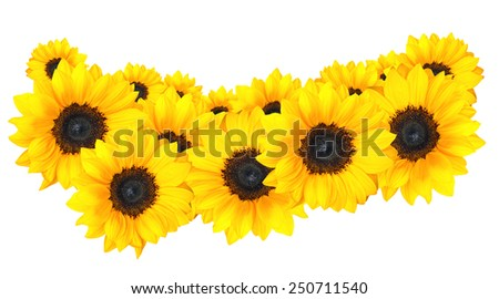 Beautiful arrangement of golden sunflowers isolated on white - stock photo