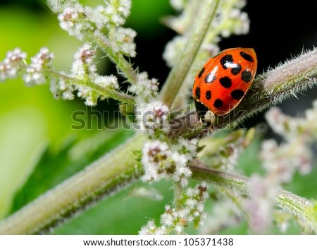 beautiful asian lady beetle, summer meadow - stock photo