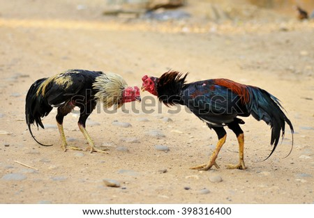 beautiful asian rooster trained for cockfighting - stock photo
