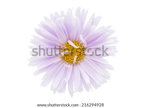 beautiful aster on a white background - stock photo