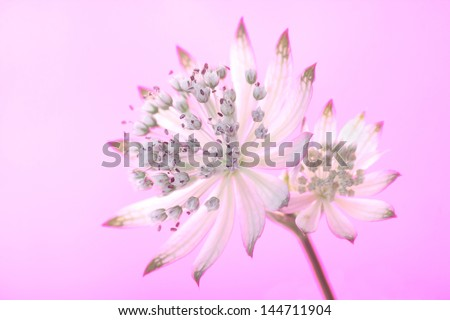 beautiful Astrantia, on a gradient background of coloured gels