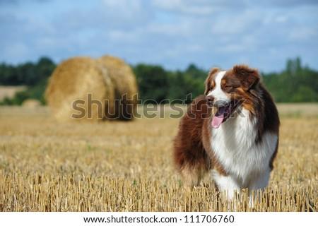 Beautiful australian shepherd dog in the countryside - stock photo