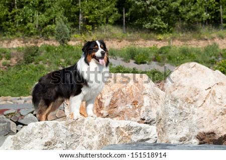 Beautiful Australian Shepherd posing on a rock - stock photo