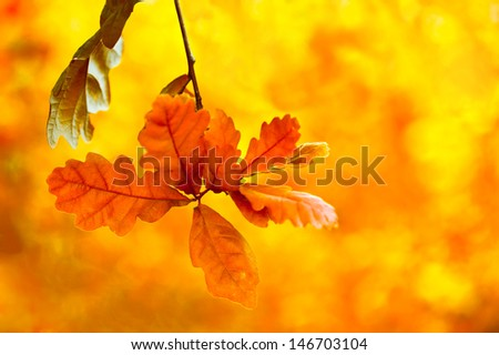 Beautiful autumn background. Bright oak leaves in autumn forest Floral background with soft selective focus, shallow depth of field
