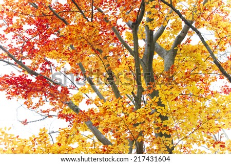 Beautiful autumn background with beeches trees.