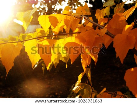 Beautiful autumn birch leaves in the sun on nature. Yellow, orange, fall foliage. Vintage leaf