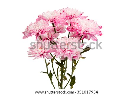 beautiful autumn chrysanthemum flowers on a white background
