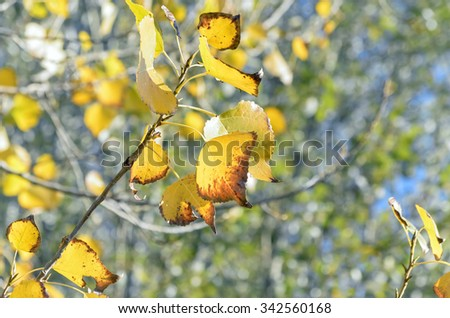 Beautiful autumn colors at nature. Some leaves, of poplar trees near a river, with colors golden, yellow, and green at background. - stock photo