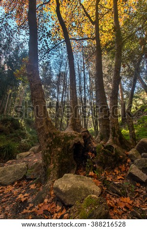 Beautiful autumn forest with tall tree in Monchique region, Portugal