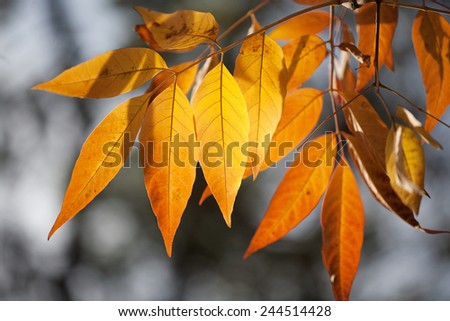 Beautiful Autumn leaves in golden tones of orange and yellow backlit by the sun - stock photo