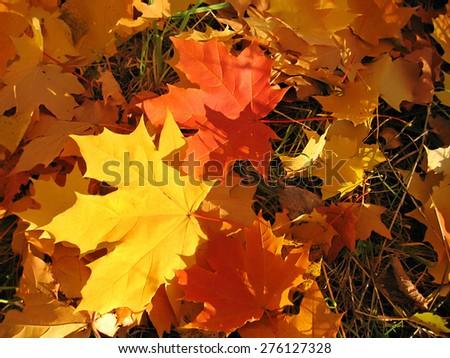 Beautiful autumn leaves of maple tree - stock photo