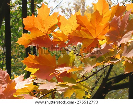 Beautiful autumn leaves of maple tree glowing in sunlight  - stock photo